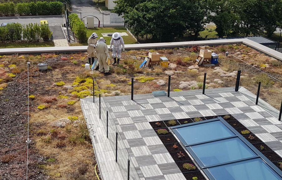Des ruches sur les toitures végétalisées de l'agence de Lyon